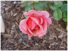Rose_Buck_Honey_Sweet