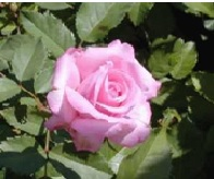Rose_Earth_Kind_Shrub_Belindas_Dream