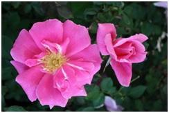 Rose_Earth_Kind_Shrub_Pink_Carefree_Beauty