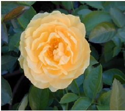 Rose_Floribunda_Julia_Child