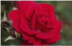 Rose_Floribunda_Super_Hero
