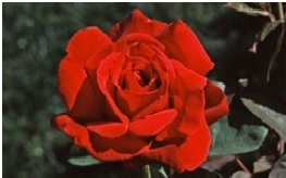Rose_Hybrid_Tea_Chrysler_Imperial