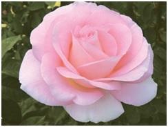 Rose_Hybrid_Tea_Falling_In_Love