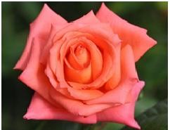 Rose_Hybrid_Tea_Folklore