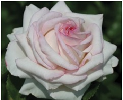 Rose Hybrid Tea Monestone