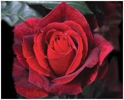 Rose Hybrid Tea Mr Lincoln