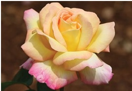 Rose_Hybrid_Tea_Peace