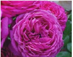 Rose_Kordes_Shrub_Purple_Rain
