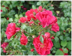 Rose_Kordes_Shrub_Raspberry_Vigerosa