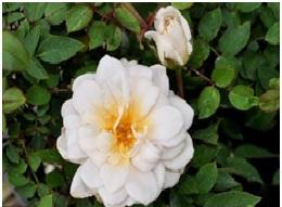Rose_Mini-Flora_Moonlight_Scentsation