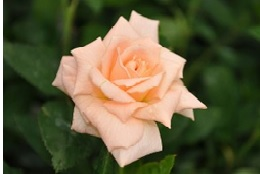 Rose_Mini-Flora_Peach_Delight