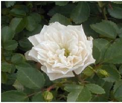 Rose_Miniature_Green_Ice