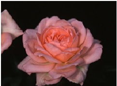 Rose_Miniature_Mary_Kay
