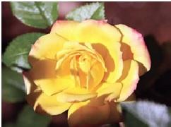 Rose_Miniature_Rainbows_End