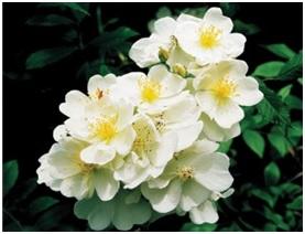 Rose_Old_Garden_Rambler_Darlows_Enigma
