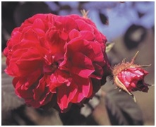 Rose_Old_Garden_Red_Moss