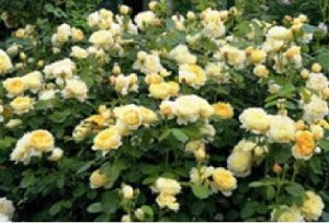 Rose_Shrub_David_Austin_Charlotte