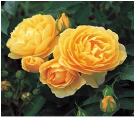 Rose_Shrub_David_Austin_Climber_Graham_Thomas
