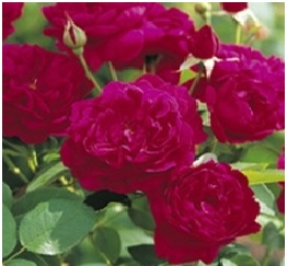 Rose_Shrub_David_Austin_Darcy_Bussell