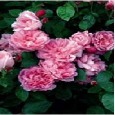 Rose_Shrub_David_Austin_Mary_Rose